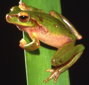 Photo: H&J Beste Cascade tree frog (Litoria pearsoniana)