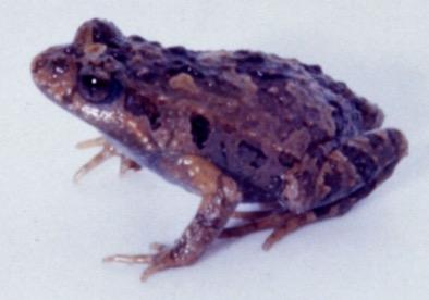 Photo: Ric Nattrass / QFS Clicking froglet Crinia signifera