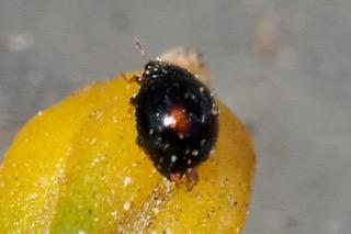 Citrus Whitefly Ladybird Photo: Ed Frazer