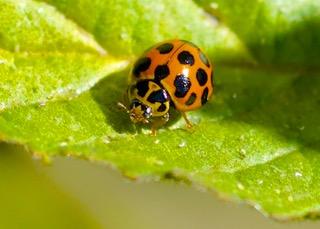 Common Spotted Ladybird Photo: Ed Frazer
