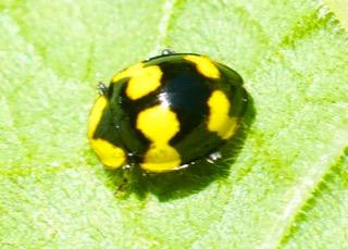 Fungus-eating Ladybird Photo: Ed Frazer