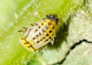 Fungus-eating Ladybird pupa. Photo: Ed Frazer