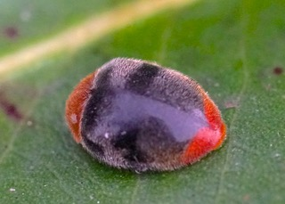 Mealybug Ladybird Photo: Ed Frazer