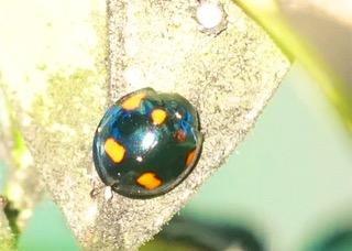 Orange-spotted Ladybird Photo: Ed Frazer
