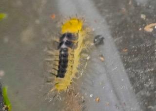 Steel blue larva Photo: Ed Frazer