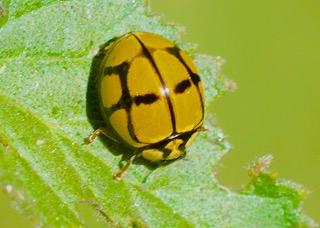 Tortoiseshell Ladybird Photo: Ed Frazer