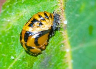 Tortoiseshell Ladybird pupa  Photo: Ed Frazer
