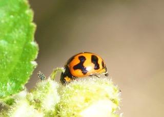 Transverse Ladybird Photo: Ed Frazer