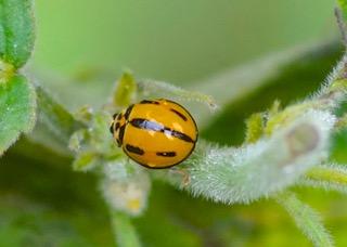 Variable Ladybird No 3 Photo: Ed Frazer