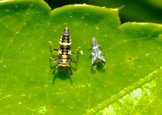 Variable Ladybird No 1 larva & pupa Photo: Ed Frazer