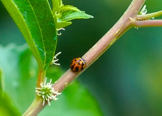 Variable Ladybird No 1 Photo: Ed Frazer