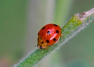 Variable Ladybird No 2 Photo: Ed Frazer