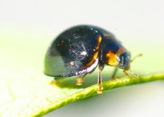 Blue Chilocorus Ladybird Photo: Ed Frazer