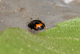 Minute Two-spotted Ladybird Photo: Ed Frazer