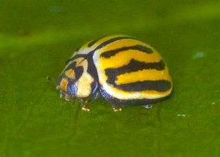 Seven-striped Ladybird  Photo: Ed Frazer