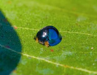 Steel blue Ladybird Female Photo: Ed Frazer