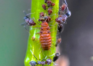 Yellow-shouldered Ladybird larva Photo: Ed Frazer